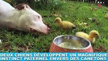 Deux chiens développent un magnifique instinct paternel envers des canetons ! Découvrez-les dans la Minute Chien #211