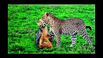 When Crazy Animals Attack Big Birds Attack - Best Eagle Attacks vs Leopard, Lion, Hyena #4