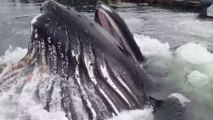 Une baleine à bosse surgit dans un port!!