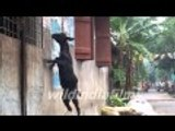 Cute Baby Goats Compilation || Goat Jumping