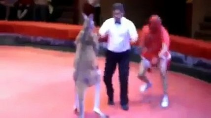 Kangaroo and man fight in a ring