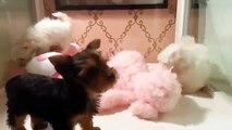 Teacup Maltese and Teacup Yorkie Teacup Puppies For Sale 2014 2016 WE SHIP
