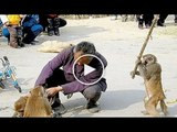 You will not believe that what he is doing things the monkey does not only by humans but doing professionally