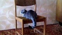 Кот акробат. Бешеный кот Семен Семеныч.  А ваш кот умеет такое?  Вы такого не видели.