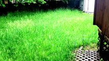 TODAY! on mowing 3 foot grass! Lawn care yard clean up 101