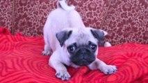 Puppies Barking Compilation - Cute Dog Barking Videos [NEW]