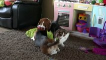 Le premier mois d'un bébé chien Beagle dans une famille.. Trop mignon !