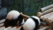 Jia Panpan and Jia Yueyue at Seven Months Old