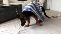 Funny Little Cute Puppy Playing and Barking - German Shepherd