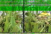 BPA        Purple Swamphen    Pembroke Pines, Broward    2001 05 28    David Powell