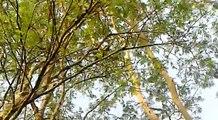 Macacos prego   - As margens do Jacaré Pepira