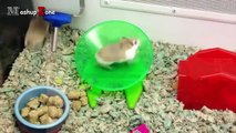 ---Hamsters - A Cute Hamster And Funny Hamster Videos Compilation -- NEW HD -