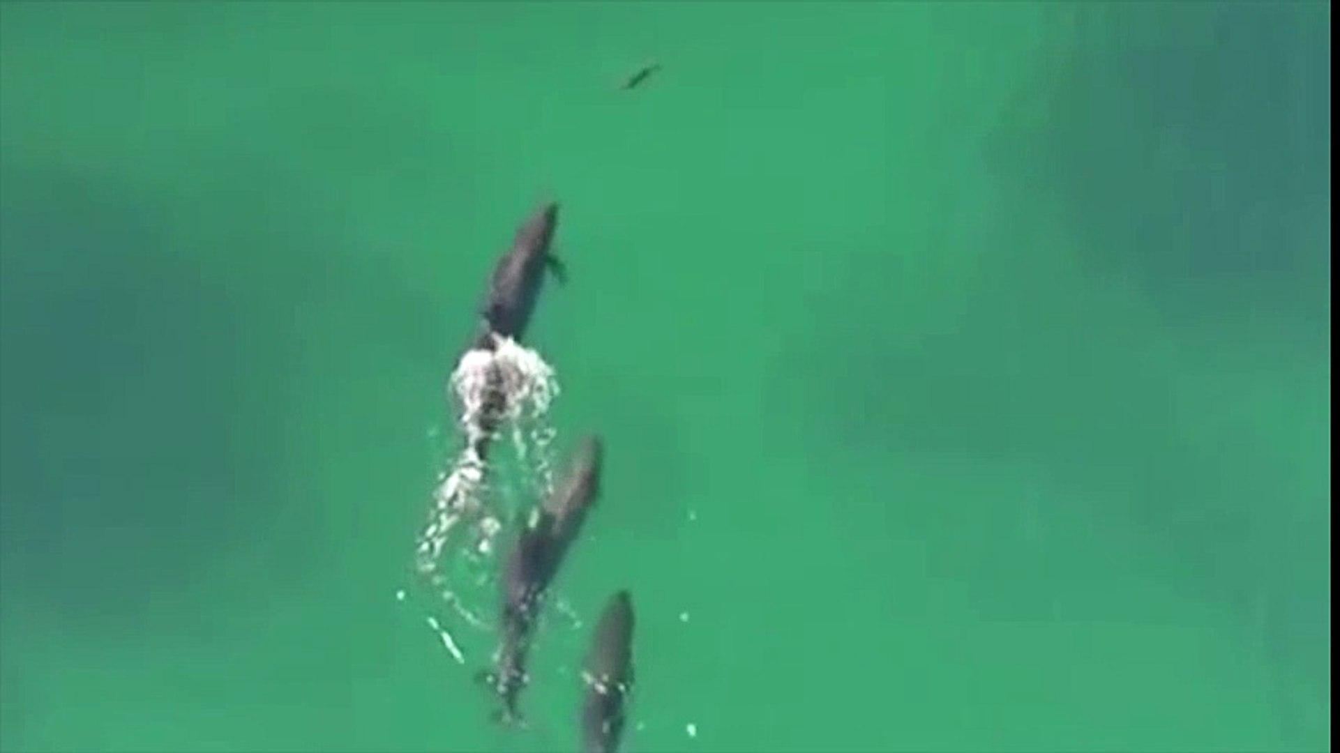 El cazador cazado: orcas negras cazan a un tiburón