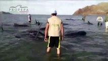 27 baleines s'échouent sur une plage au Mexique
