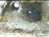 Live aus der Eisvogel Bruthoehle (227)