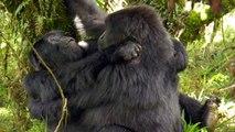 Silverback Gorillas In Rwanda Become First Documented Having Lesbian Sex