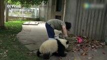 Ces Pandas embêtent leurs gardiens de Zoo en plein rangement - Trop drôle