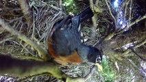 Un serpent Couleuvre avale tous les oeux d'un nid d'oiseau