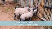 Des bébés rhinocéros pleurent quand ils n'ont plus à boire !