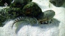 Ce mollusque avale des poissons vivants endormis - Créature cauchemardesque
