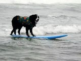 Surfing Dog Hangs 10 - Loews Dog Surfing Imperial Beach Video 2