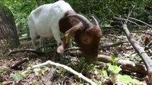 Cabras para recuperar bosques dañados por el huracán Sandy en Nueva York