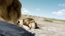 Attaque d'un lion pendant une pose de chasseurs dans la savane
