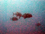 Diving @ Guam on Nov 15, 2009 III