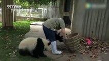Adorable : quand des pandas jouent avec des feuilles mortes