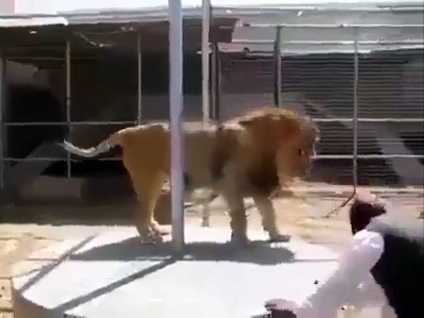 Lion Vs Pathan One On One Match - pashto Funny Videos