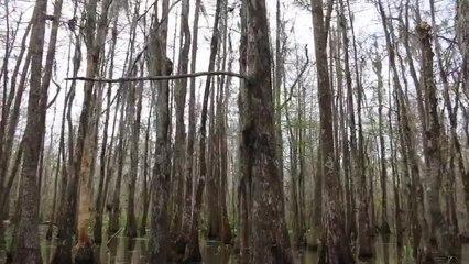 Cajun Encounters Swamp Tours in Louisiana - Swimming Pigs!