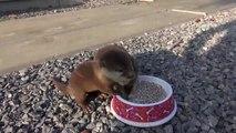Deux bébés loutres prennent leur repas
