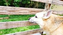 Cher Bear Toys Pets German Shepherd Best Tricks 2016 Dog Pet Videos With ZerO From DCTC