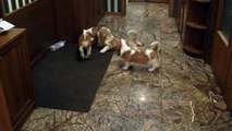 basset-hound puppies from moscow 2010-01-26 part 3.MP4