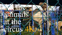 All the animals at the circus   Todos os animais no circo. Vila Real. Portugal   4K UHD 2160p