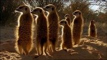 Créationnisme Scientifique raëlien : un clan de suricates en Namibie (Afrique Australe, 2015)