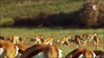 Sauts et danse d'antilope, Namibie, Afrique Australe, 2015