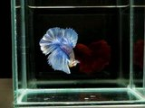 { Sold out } Betta Splendens : (0310-28) Gizzle HM STM.mp4