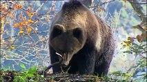 L'ours dans les Pyrénées..... Mercredi 25 mai à 23h25 sur France 3 MP