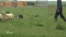 Animaux : Concours national de chiens de berger (Vendée)