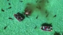 Australie : près de 70 requins dévorent une baleine