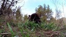 Un bébé ours Grizzly orphelin joue avec ce dresseur et appre