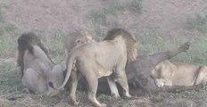 Lions VS Buffle, l'incroyable retournement de situation !