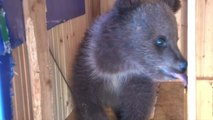 Villagers Adopt Orphaned Bear Cub After Parents Killed by Poachers