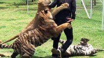 OMG!!! Playing With The Wild Tigers gone Wrong