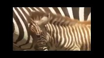 Crocodile vs Zebra - Crocodile Eating Zebra Alive - Crocodile Attack Zebra, Wildebeest