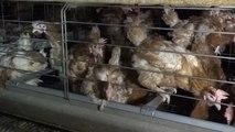La maltraitance animale, en cinq campagnes de l'association L214