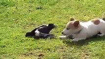 Первый раз вижу такое! Я не поверила, когда увидела, собака и сорока играют в казаки-разбойники