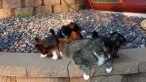 Une flopée de chiots s'en prennent à un pauvre chat qui ne bouge pas une oreille