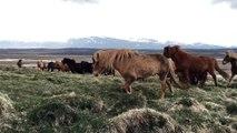 Des cheveaux sauvages viennent à sa rencontre naturellement en Islande - Pas si sauvage que ça